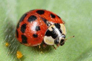 Harlequin ladybird