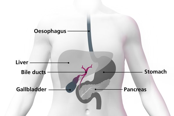 Diagram of the body highlighting the bile ducts as small tubes connecting other organs together