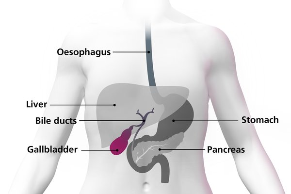 Diagram of a body highlighting the gallbladder as a small organ under the liver