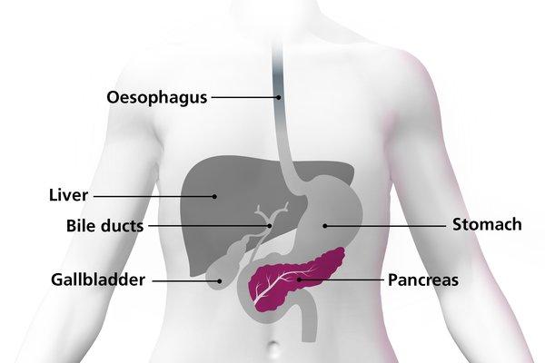 Diagram of a body highlighting the pancreas as an organ under the stomach.