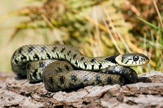 Green grass snake, moving over rocks