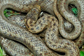 Grey smooth snake with brown pattern, curled up on ground