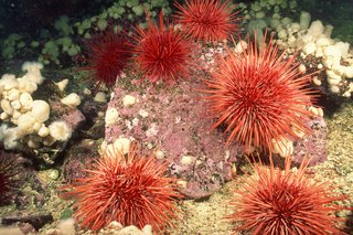 Six red sea urchins on rocks on the seabed