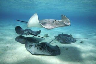 Five stingrays swimming in the sea