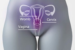 Diagram of the pelvic area showing the opening of the cervix between the vagina and the womb.
