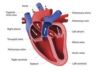 Congenital Heart Disease Types Nhs
