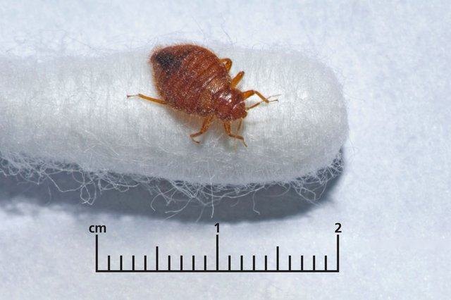 Bedbug on end of cotton bud with a ruler underneath showing millimetres.