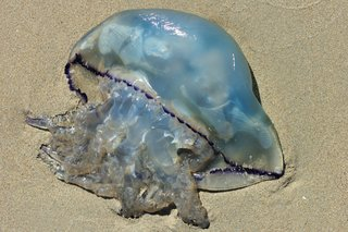 A jellyfish washed up on the beach