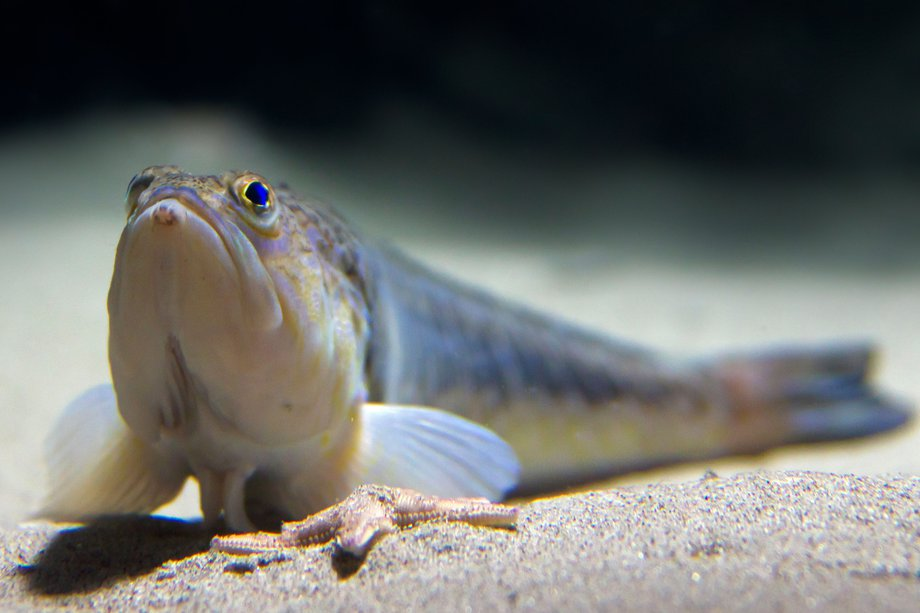 Picture of a weever fish