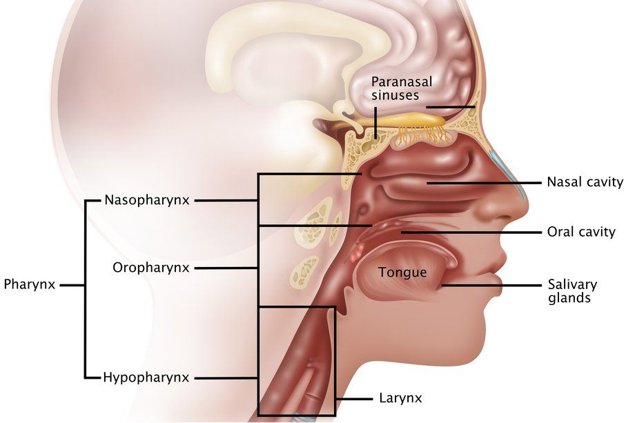Nasopharyngeal cancer nhs diagram showing the nasopharynx ccuart Image collections