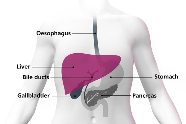 Diagram of a body highlighting the liver as a large organ above the stomach
