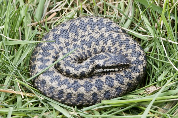 Grey adder with black zig-zag markings, curled up in the grass