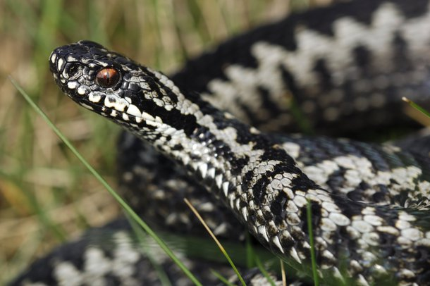 Picture of an adder – the only wild venomous snakes in the UK