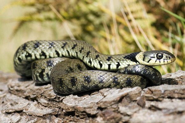 Grass snakes have black flecks or bands, and a yellow collar behind the head