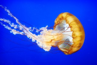 A jellyfish swimming