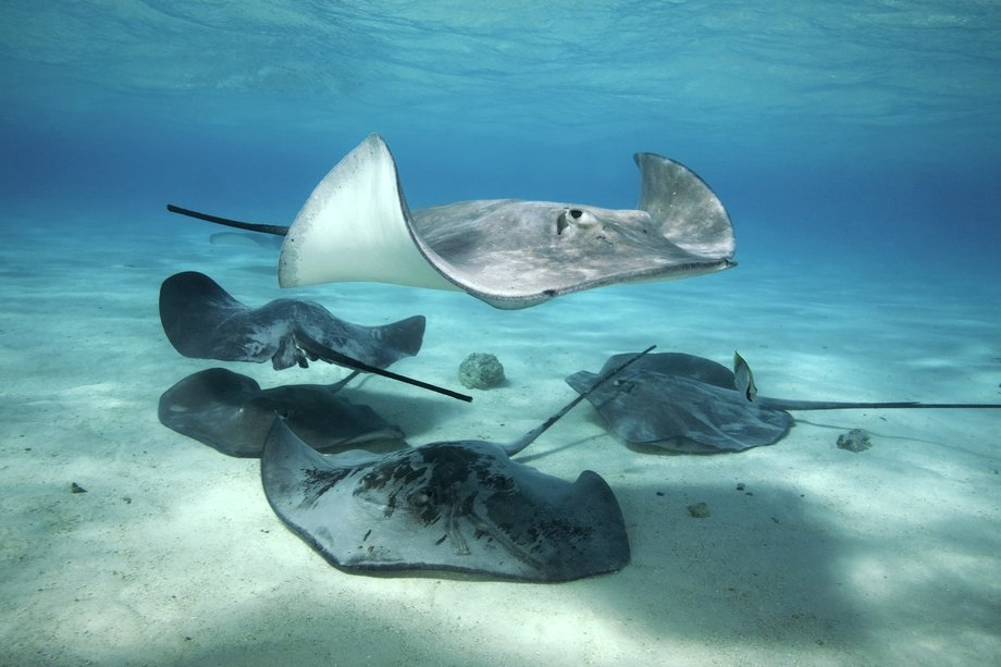 Picture of a stingray